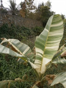 Banana leaves with white stripes