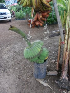 Here the single bananas are grown together