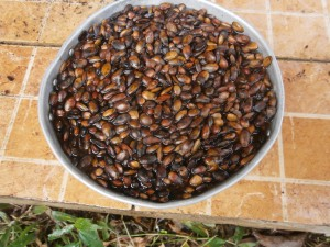 Soaking the dried graviola seeds for 24 hours is a good idea