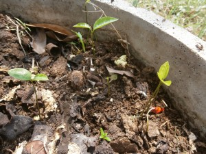 Out of a rotting fruit new seedlings grow