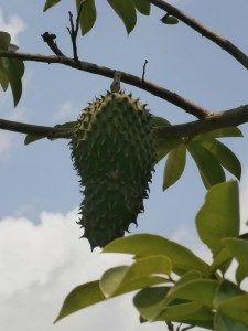 It may take four to six years until you can harvest Graviola fruits from trees grown from seeds