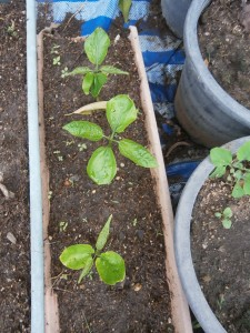 Soon those montain peanut seedlings have to be repotted