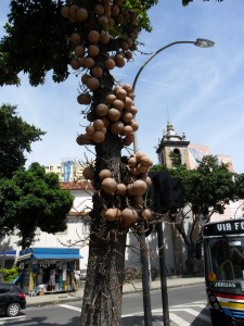I saw my first cannonball tree in Rio de Janeiro