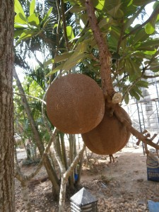 Fruits of the cannonball tree are heavy, I learned it the hard way