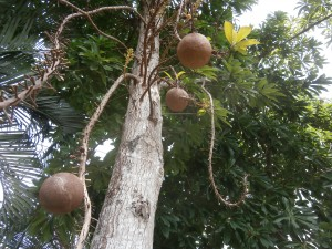 It takes a while to grow cannonball trees from Thai or Lao seeds