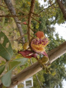 The flowers of the cannonball tree are intriguing