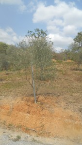 Olive tree outside Hua Hin, Thailand