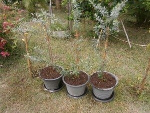 Olive trees in Thailand for sale