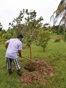 Planting big strawberry guava trees in Nong Khai