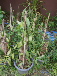 Vanilla for sale at Discovery Gardens for Thailand and Laos