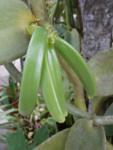 The green vanilla seedpods can develop