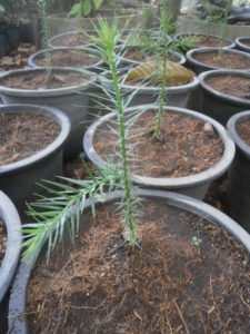 Araucaria angustifolia plants for sale in Thailand and Laos