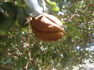 The nut of Pachira aquatica can also be eaten in Thailand, Laos or Asia
